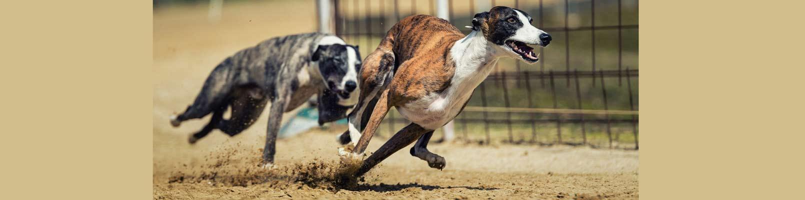 pariuri virtuale pe curse caini