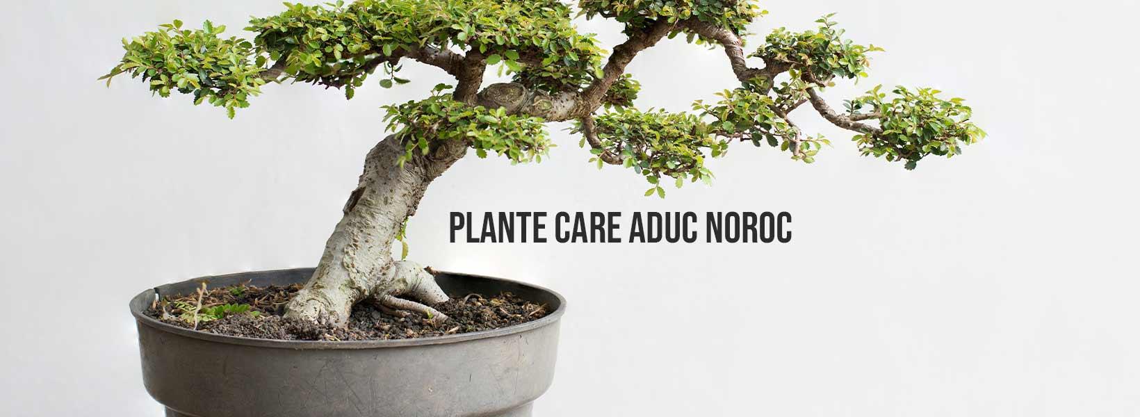 plante care aduc noroc