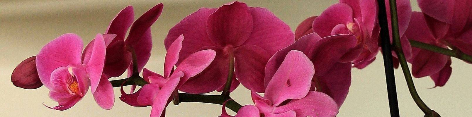 zodiac floral orhidee