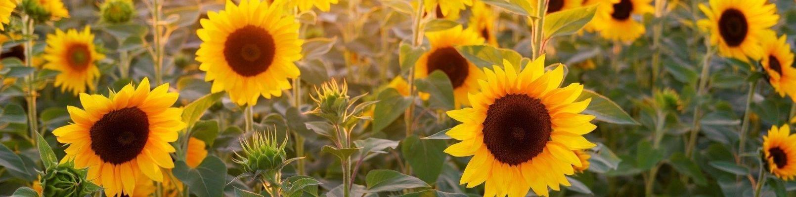zodiac flori floarea soarelui