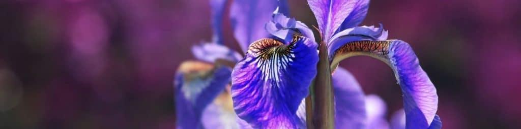 zodiac flori iris